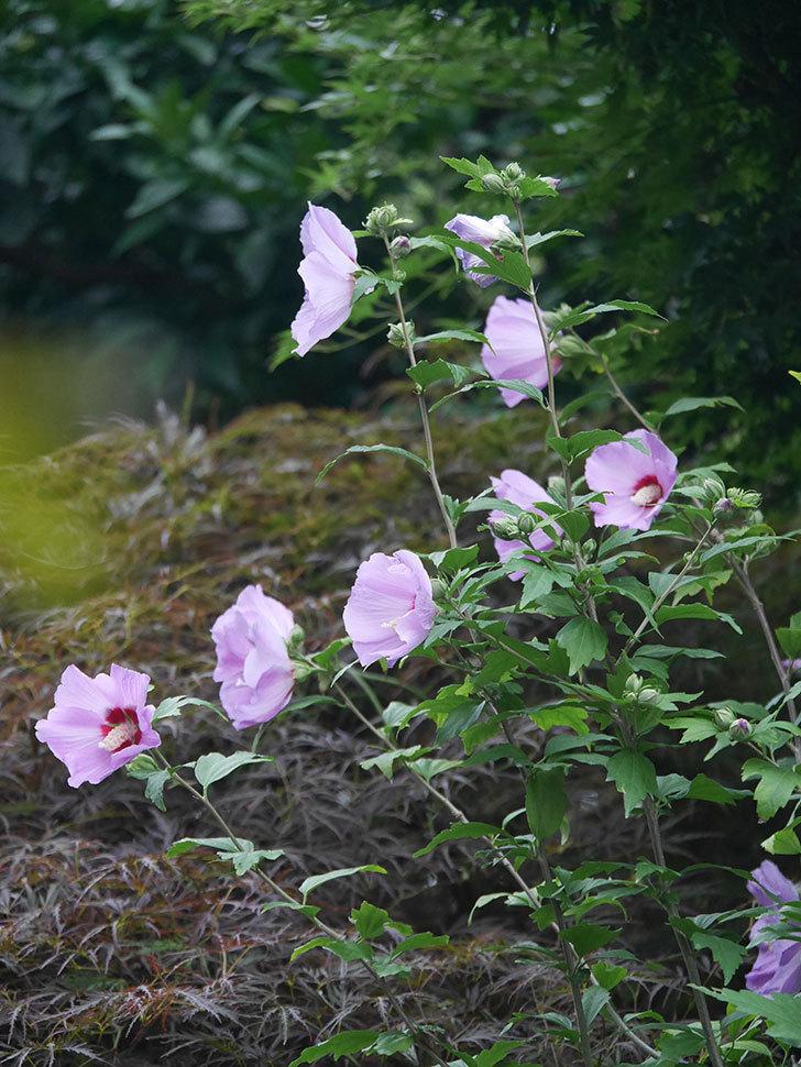 ムクゲが咲いた。2020年-022.jpg