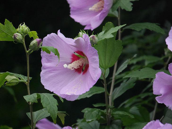 ムクゲが咲いた。2020年-027.jpg