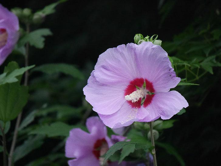 ムクゲが咲いた。2020年-032.jpg