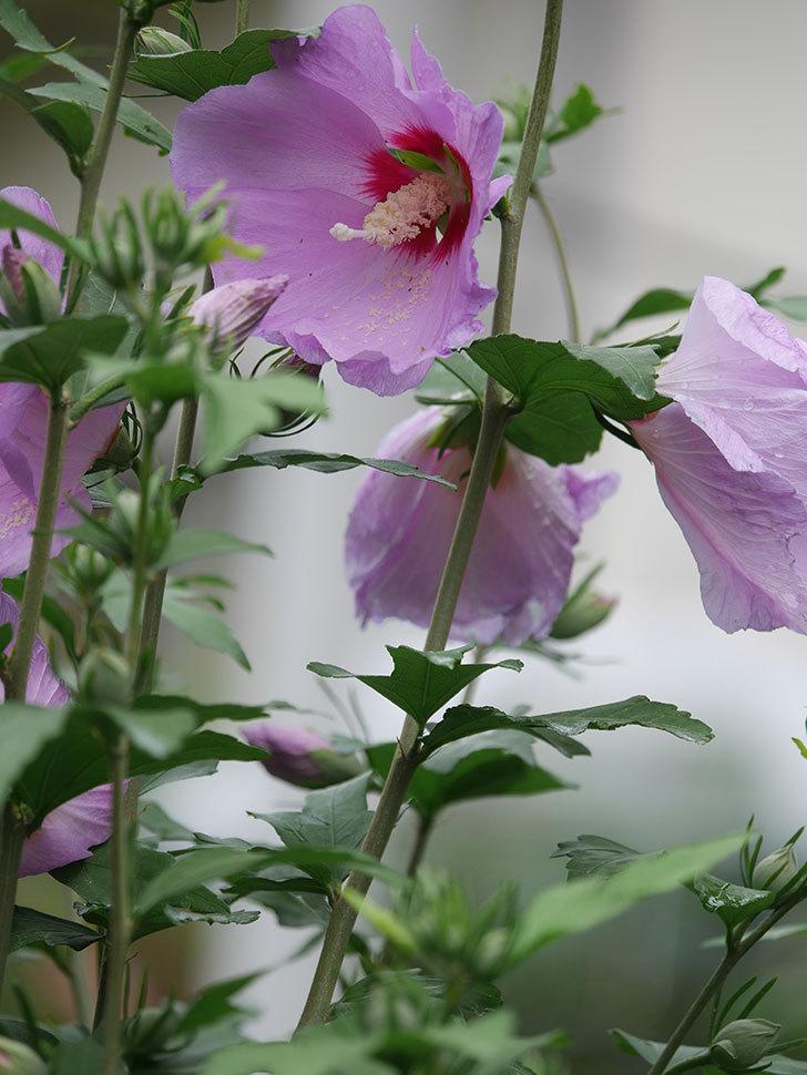 ムクゲが咲いた。2021年-016.jpg