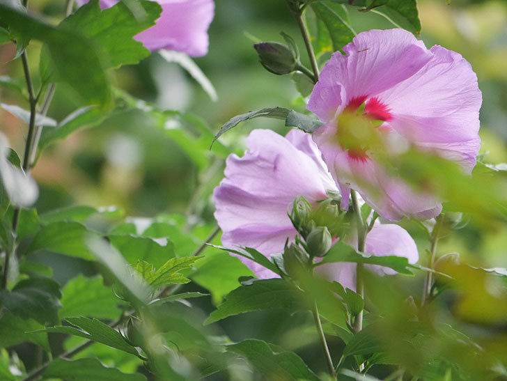 ムクゲが咲きだした。2020年-003.jpg
