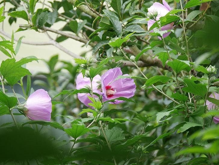 ムクゲが咲きだした。2020年-006.jpg