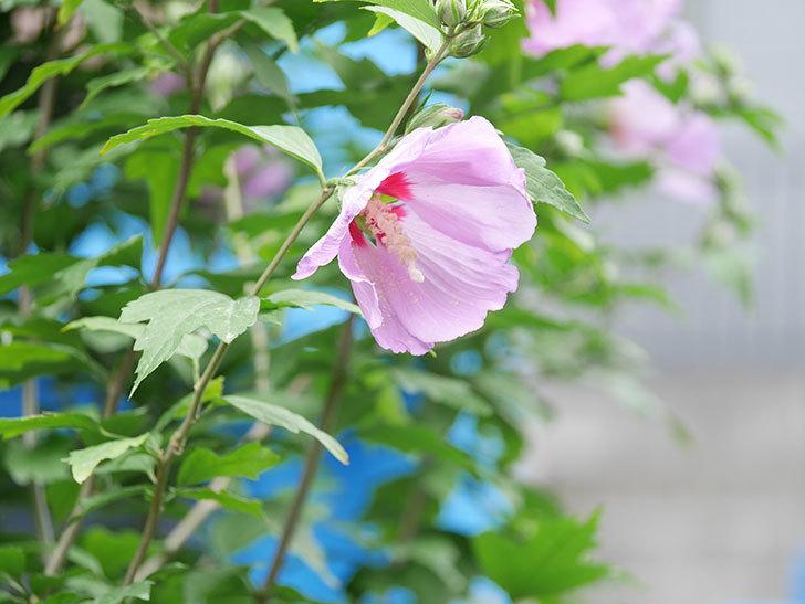ムクゲが咲きだした。2020年-015.jpg