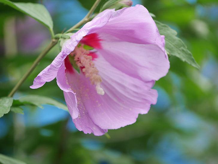 ムクゲが咲きだした。2020年-016.jpg