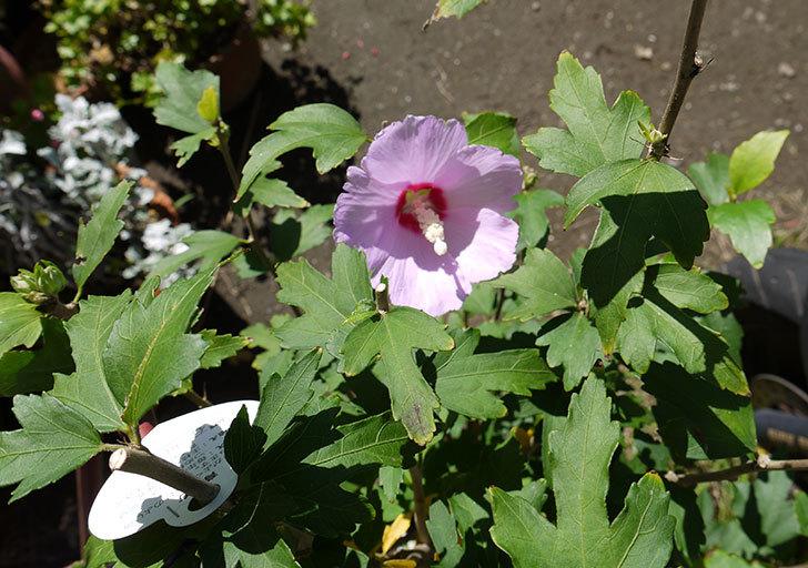 ムクゲの花が咲いた1.jpg