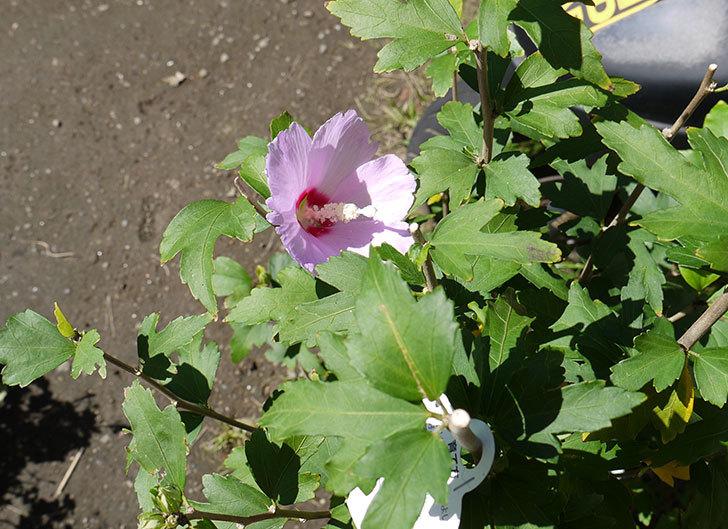 ムクゲの花が咲いた2.jpg