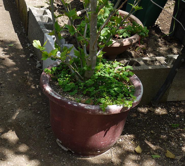 ムクゲを12号鉢に植え替えた。2016年-4.jpg