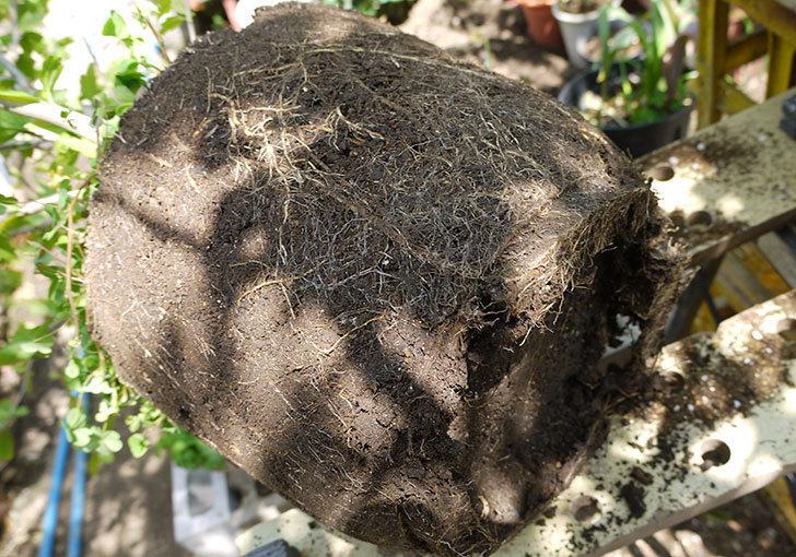 ムクゲを12号鉢に植え替えた。2016年-6.jpg