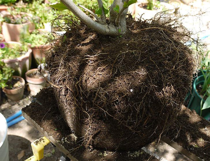 ムクゲを12号鉢に植え替えた。2016年-9.jpg