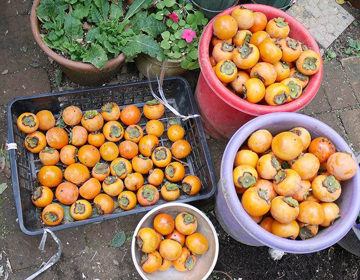 ムクドリの軍団がやって来るようになったので柿の収穫をした。2018年-1.jpg