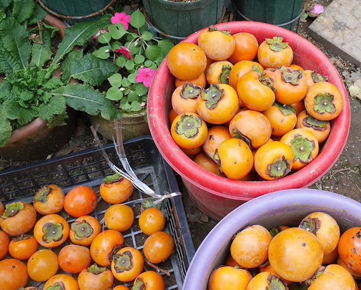 ムクドリの軍団がやって来るようになったので柿の収穫をした。2018年-3.jpg