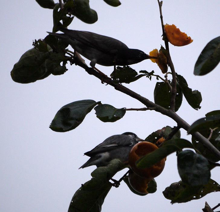 ムクドリの集団が柿を食べに来た。2016年-2.jpg