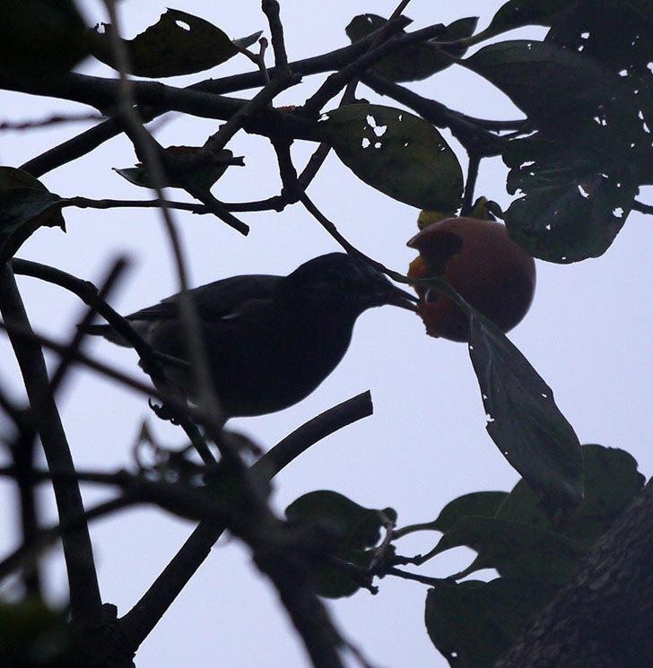 ムクドリの集団が柿を食べに来た。2016年-9.jpg