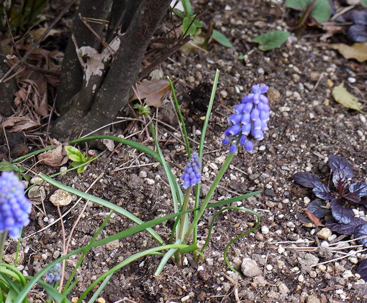 ムスカリが咲いた。2016年-3.jpg