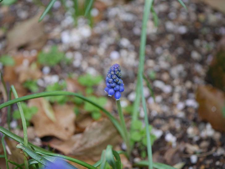 ムスカリが咲いた。2021年-006.jpg