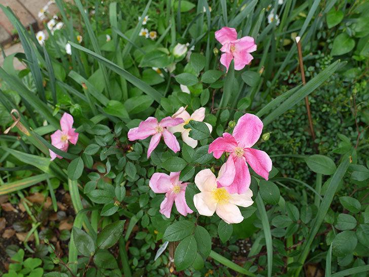 ムタビリス(木立バラ)がたくさん咲いた。2017年-2.jpg