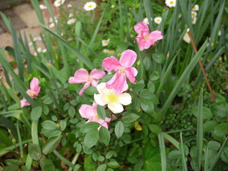 ムタビリス(木立バラ)がたくさん咲いた。2017年-4.jpg