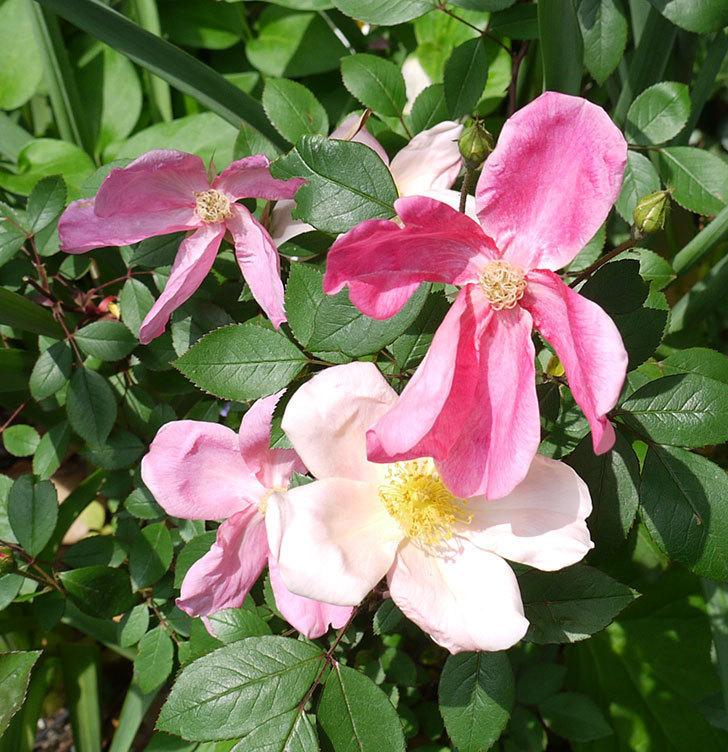 ムタビリス(木立バラ)がたくさん咲いた。2017年-8.jpg