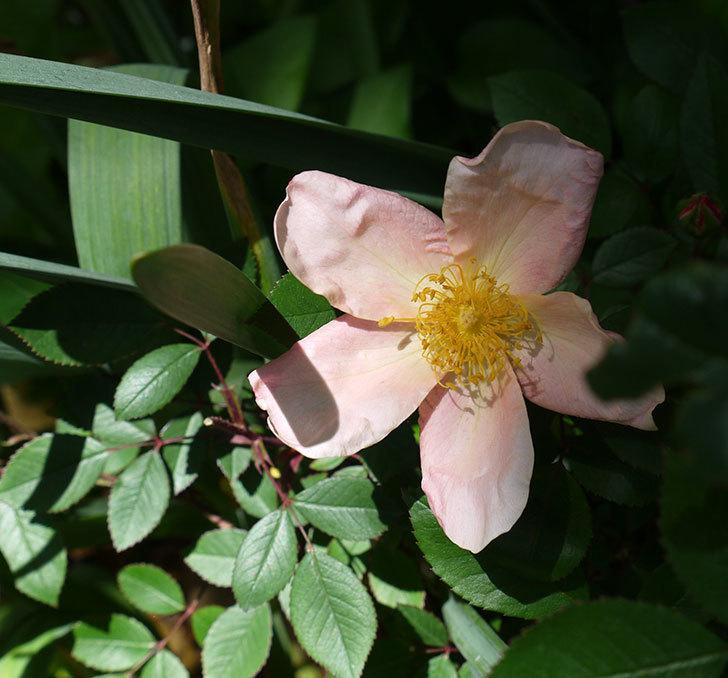 ムタビリス(木立バラ)に2個目の花が咲いた。2017年-1.jpg