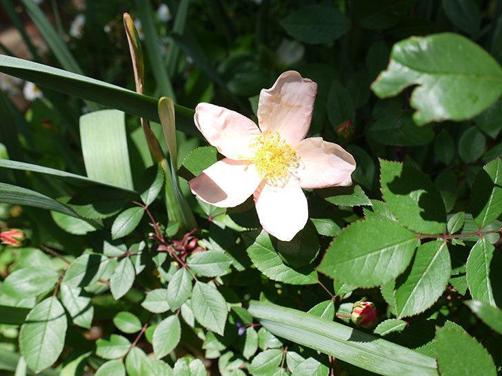 ムタビリス(木立バラ)に2個目の花が咲いた。2017年-3.jpg