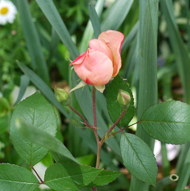 ムタビリス(木立バラ)に2個目の花が咲いた。2017年-4.jpg
