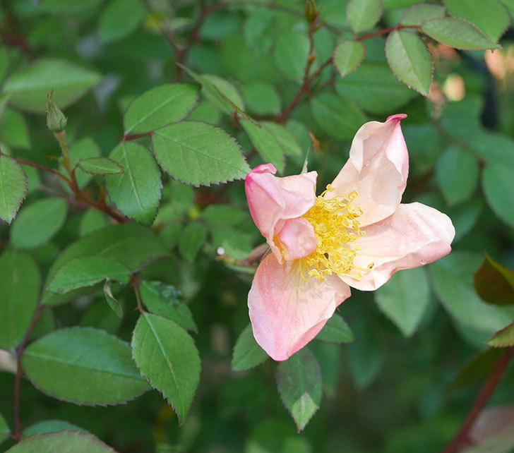 ムタビリス(木立バラ)に2個目の花が咲いた。2020年-1.jpg