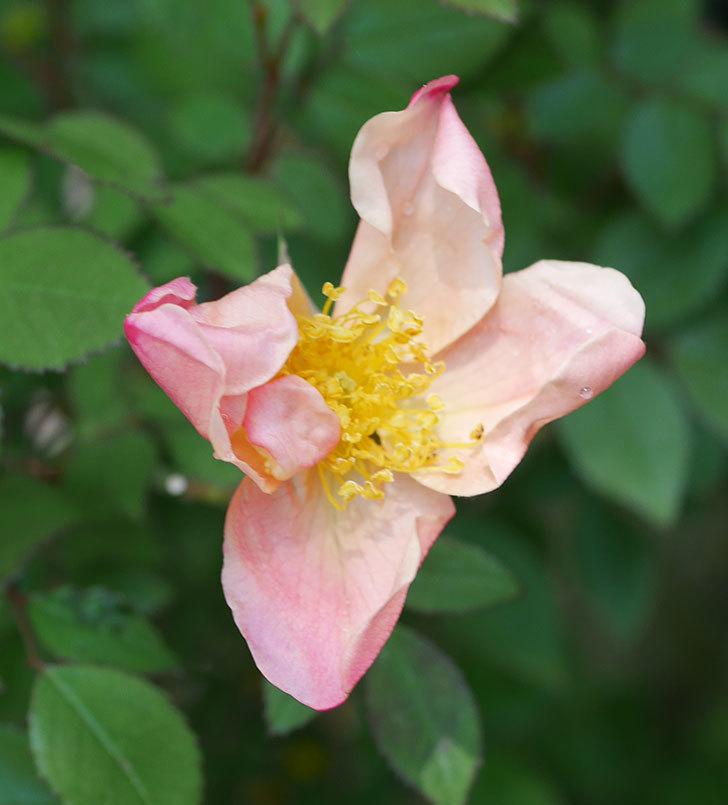 ムタビリス(木立バラ)に2個目の花が咲いた。2020年-2.jpg