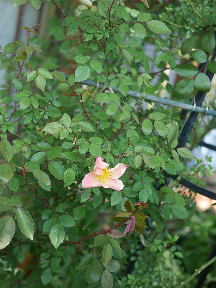 ムタビリス(木立バラ)に2個目の花が咲いた。2020年-3.jpg