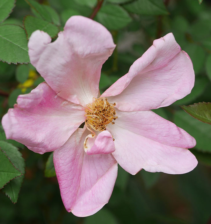 ムタビリス(木立バラ)に2個目の花が開いた。2020年-2.jpg