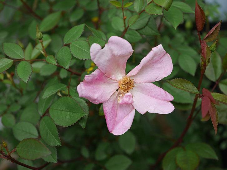 ムタビリス(木立バラ)に2個目の花が開いた。2020年-3.jpg