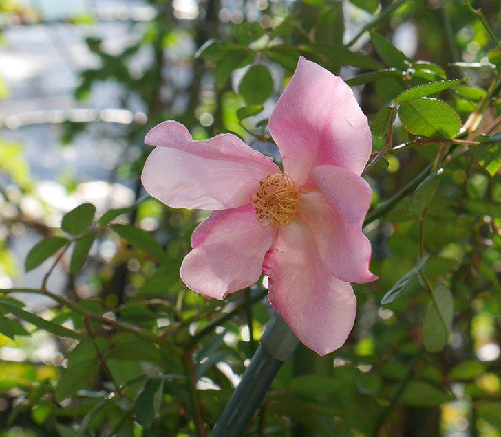 ムタビリス(木立バラ)にピンクの花が咲いた。2019年-1.jpg