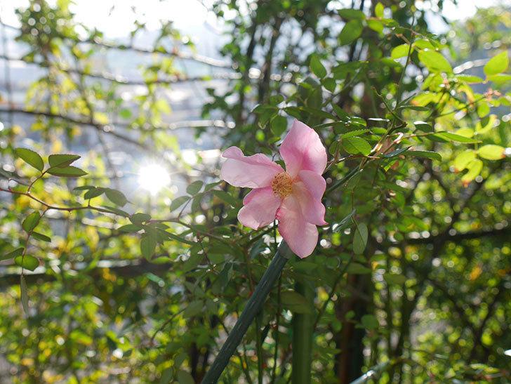 ムタビリス(木立バラ)にピンクの花が咲いた。2019年-2.jpg