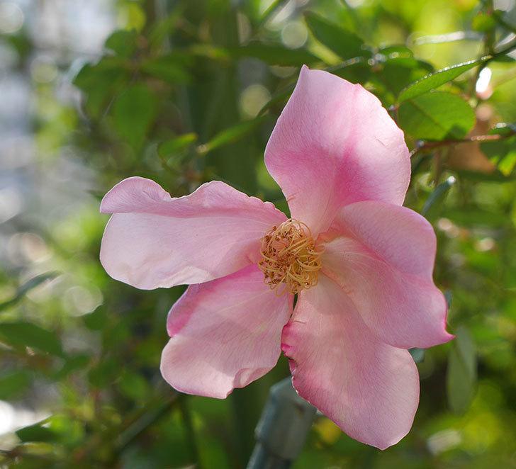 ムタビリス(木立バラ)にピンクの花が咲いた。2019年-3.jpg