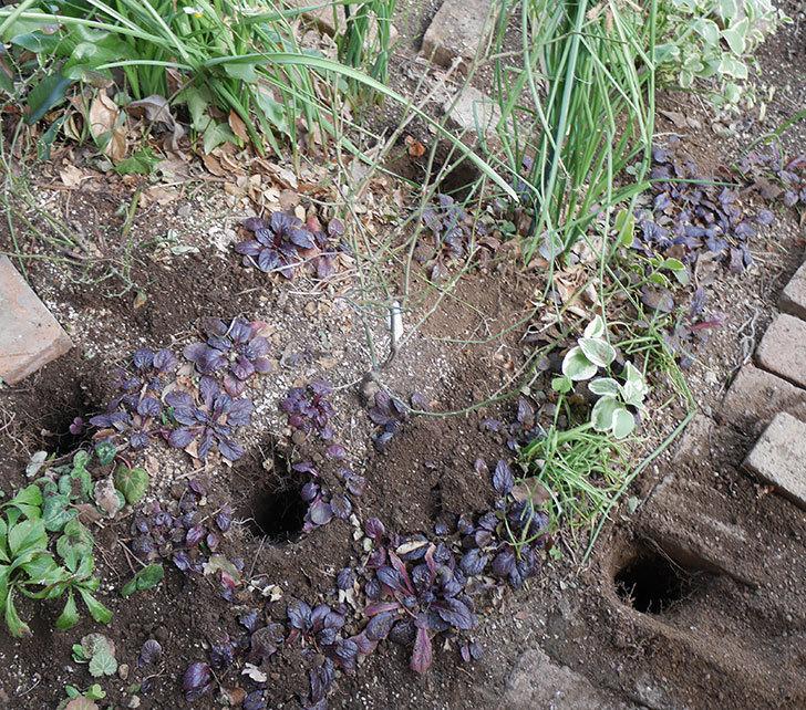 ムタビリス(木立バラ)に寒肥を施した。2019年-1.jpg
