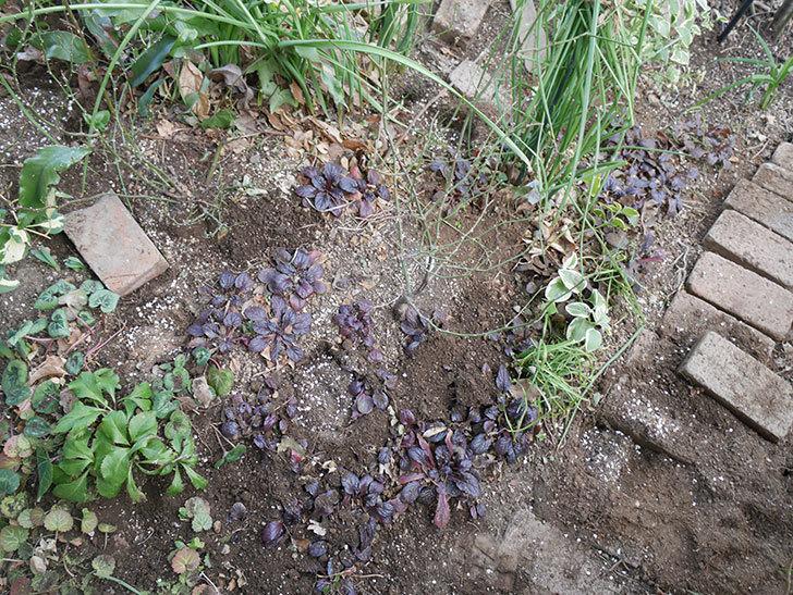ムタビリス(木立バラ)に寒肥を施した。2019年-2.jpg