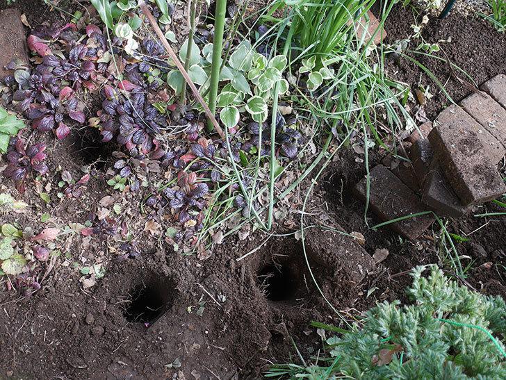 ムタビリス(木立バラ)に寒肥を施した。2020年-1.jpg