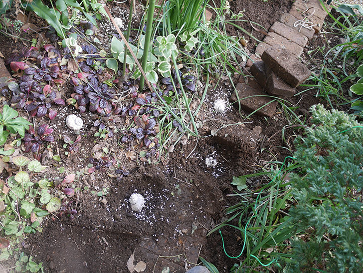 ムタビリス(木立バラ)に寒肥を施した。2020年-10.jpg