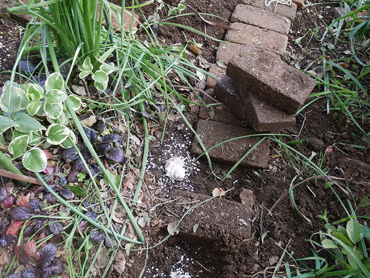 ムタビリス(木立バラ)に寒肥を施した。2020年-14.jpg