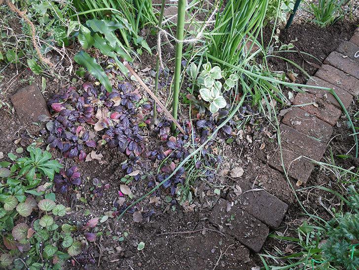 ムタビリス(木立バラ)に寒肥を施した。2020年-15.jpg
