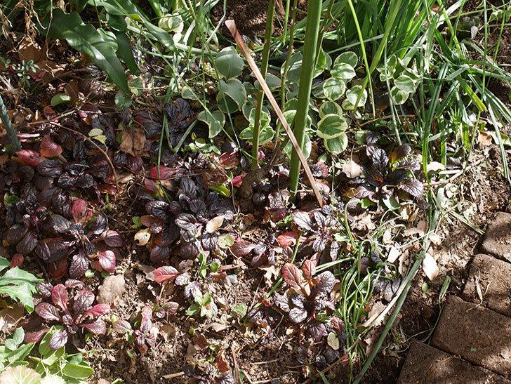 ムタビリス(木立バラ)に寒肥を施した。2020年-2.jpg