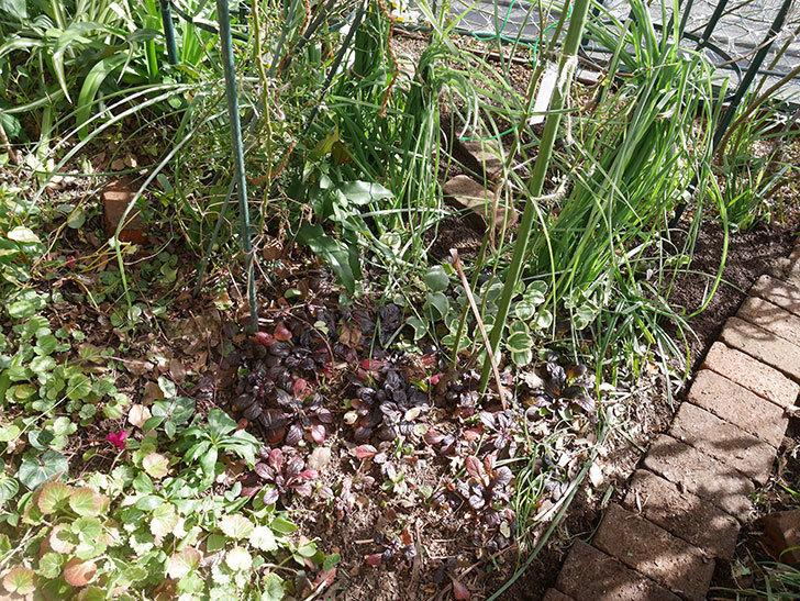 ムタビリス(木立バラ)に寒肥を施した。2020年-3.jpg