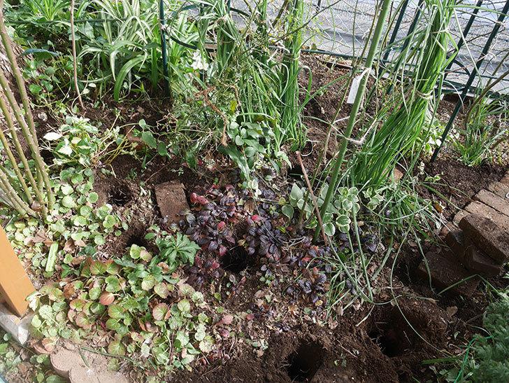 ムタビリス(木立バラ)に寒肥を施した。2020年-9.jpg