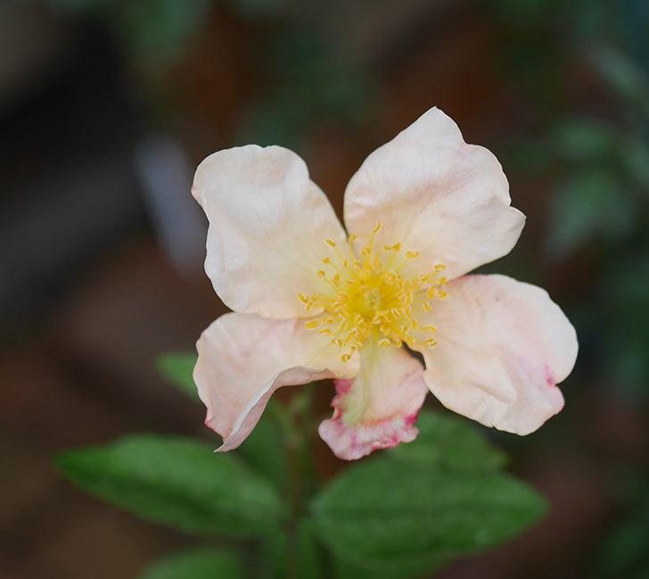 ムタビリス(木立バラ)の2番花が咲いた。2019年-2.jpg