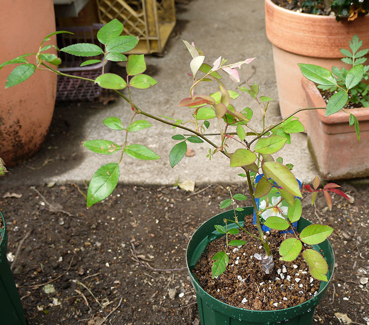 ムタビリス(木立バラ)の新苗を5号ロングスリット鉢に植えた。2016年-1.jpg