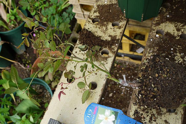 ムタビリス(木立バラ)の新苗を5号ロングスリット鉢に植えた。2016年-2.jpg