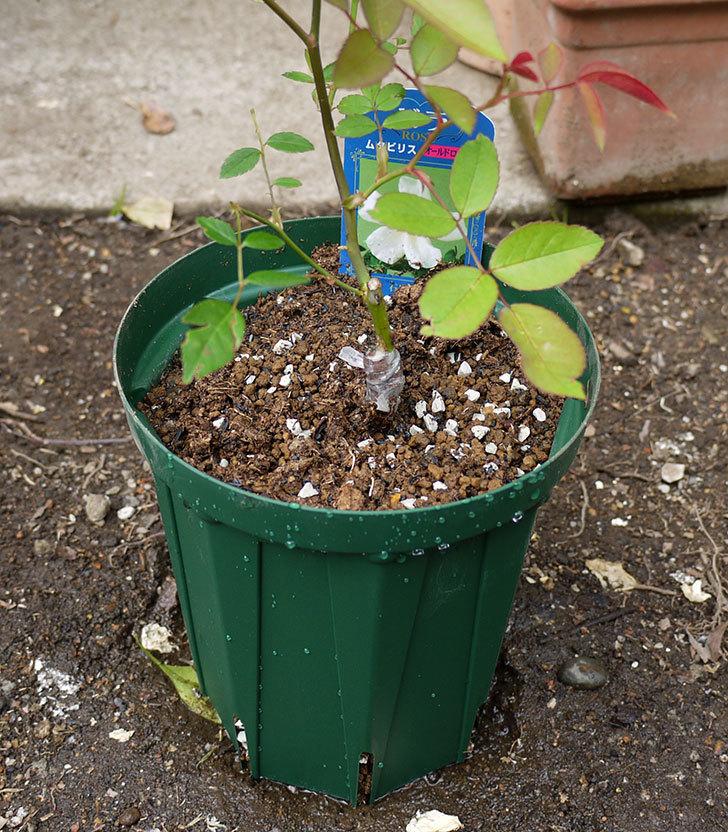 ムタビリス(木立バラ)の新苗を5号ロングスリット鉢に植えた。2016年-5.jpg