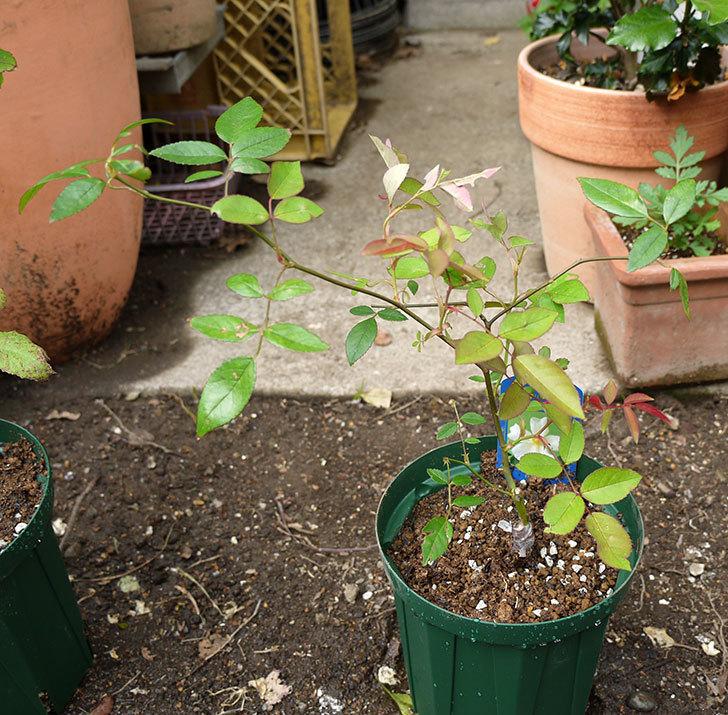 ムタビリス(木立バラ)の新苗を5号ロングスリット鉢に植えた。2016年-6.jpg