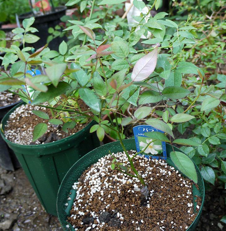 ムタビリス(木立バラ)の新苗を7号ロングスリット鉢に鉢増しした。2016年-1.jpg