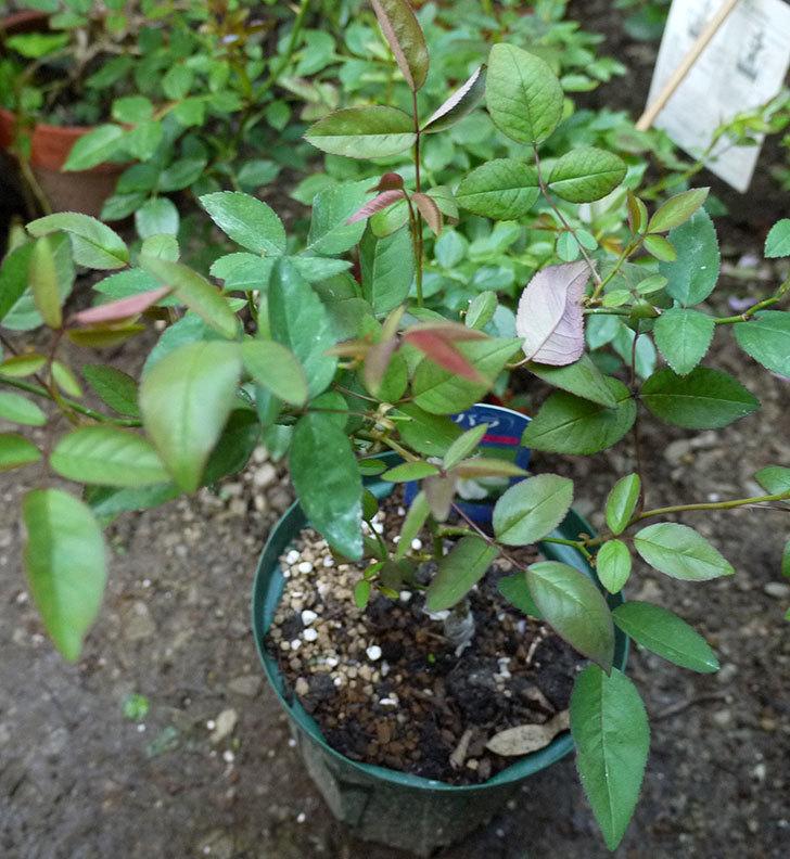 ムタビリス(木立バラ)の新苗を7号ロングスリット鉢に鉢増しした。2016年-2.jpg
