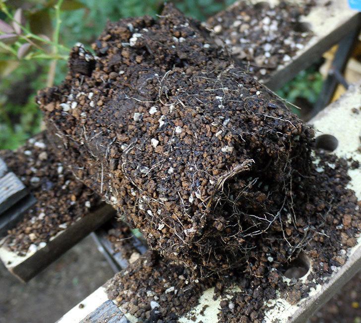 ムタビリス(木立バラ)の新苗を7号ロングスリット鉢に鉢増しした。2016年-5.jpg